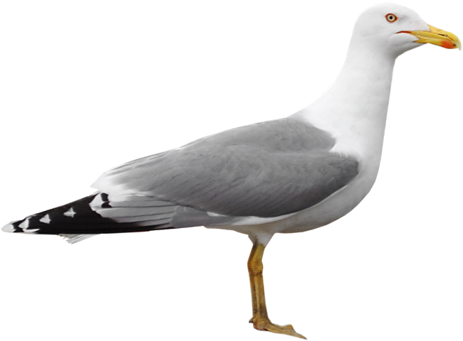 Gull png22